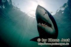 Einzigartige Fotos vom Weißen Hai in Kalender