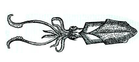 tintenfisch_gessner_zu-ambraoxan