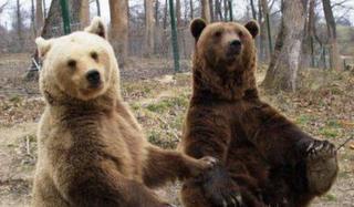 Die Rumänen sollen Braunbären lieben, aber nicht besitzen