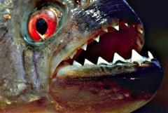 Sonntagsbilder: Das Zeitalter der Piranha
