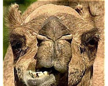 Kamel wegen Körperverletzung angezeigt