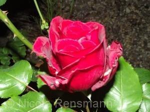 Tag der roten Rosen