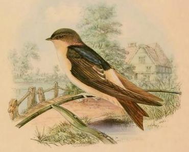 Die Schwalbe und die anderen Vögel • Fabel von Aesop