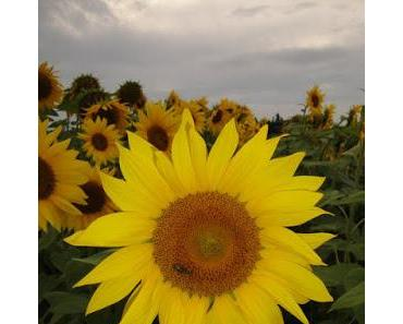 Die Sonnenblume - ein wundervolles Sinnbild