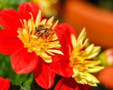 Tag der Honigbiene – der US-amerikanische National Honey Bee Day 2015