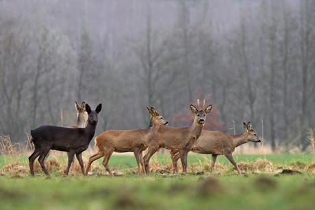 Homeland: The Black Deer
