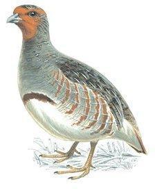 Das Rebhuhn und die Hühner • Missgunst • Fabel von Aesop