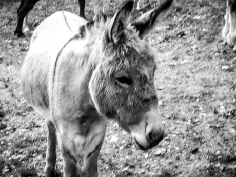 Kuriose Feiertage 26. Oktober - Ehrentag des Maultiers oder Muli-Tag – der National Mule Appreciation Day in den USA (c) 2015 Sven Giese-1