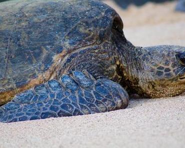 Tierische Begegnungen auf Maui: Von Schildkröten, Mönchsrobben, Walen und Delfinen