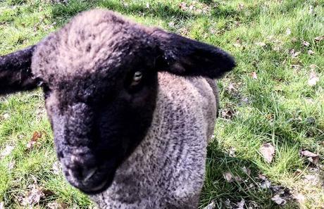 Tag der Nutztiere in den USA – der amerikanische National Farm Animals Day