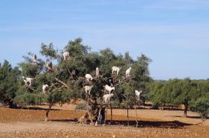Das Gold des Lebensbaumes – Arganöl
