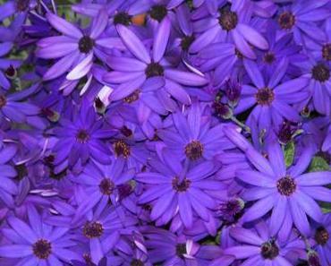 Foto: blauviolette Korbblütler