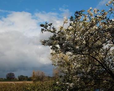 Foto: Weiße Magnolie