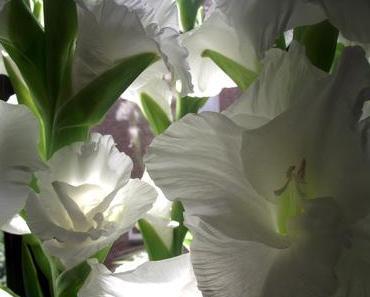 Foto: Weiße Gladiolen