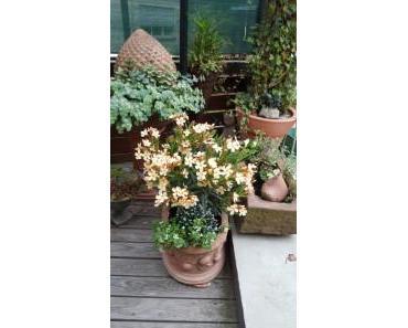 Oleander – Sonnenanbeter