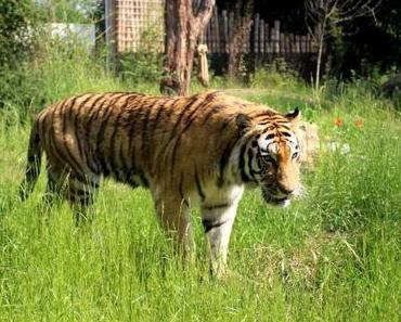 Zoo Duisburg – Tiger sucht Frau