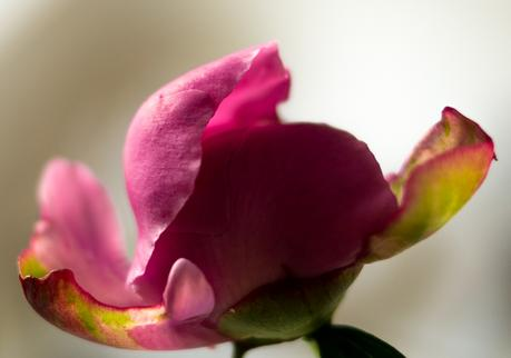 Blog + Fotografie by it's me | fim.works | Knospe einer rosa Pfingstrose
