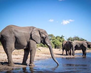 Die schwimmenden Elefanten von Chobe River