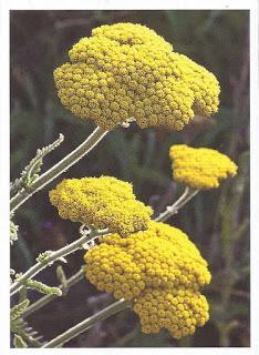 http://aventin.blogspot.de/2016/07/wissen-schafgarbe-achillea-millefolium.html