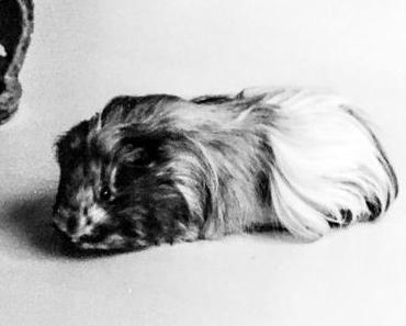 Ehrentag der Meerschweinchen – der kanadische Guinea Pig Appreciation Day