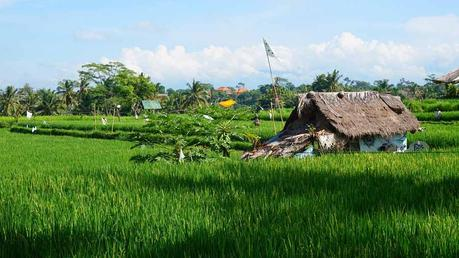 Die-Reisfelder-gehören-mit-zum-Schönsten-was-die-Erde-zu-bieten-hat-(3)