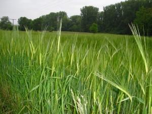 Gefahr durch Weizen – was ist dran? (Teil 4)