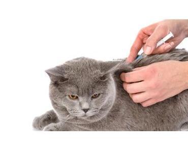 Diabetes bei Katzen – Symptome und Behandlung von Katzendiabetes