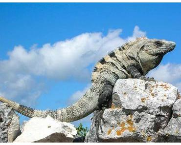 Tag des Leguans – der amerikanische National Iguana Awareness Day