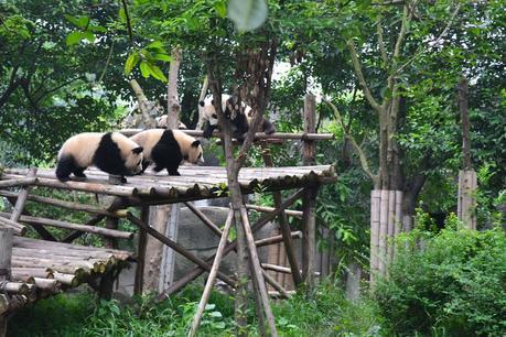 chengdu-china-pandas