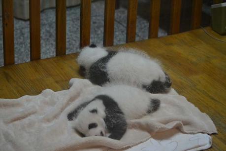 chengdu-china-panda-babys