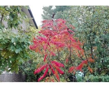 Foto: Essigbaum in Herbstfarben