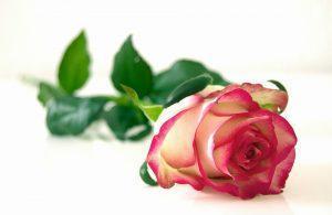 Diagnose Krebs: Die Rose und die Ameisen