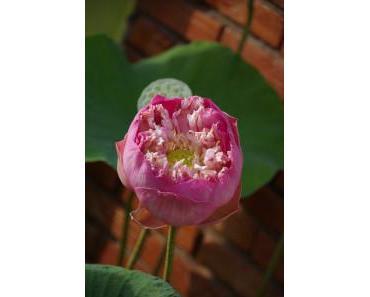 Symbolträchtige Lotusblüte