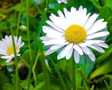 Gänseblümchen-Tag in den USA – der amerikanische Daisy Day