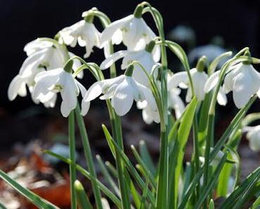 Schneeglöckchen, die ersten Frühlingsboten mit heilender Wirkung