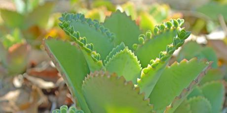 Bryophyllum: Natürliche Unterstützung bei Kinderwunsch?
