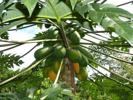 internationale Superfoods - Papaya