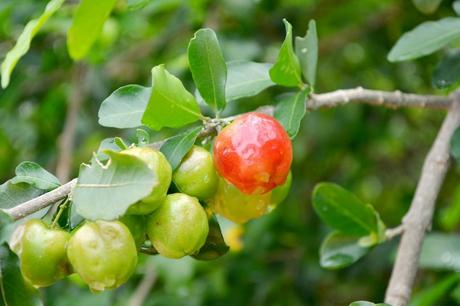 internationale Superfoods - Acerola