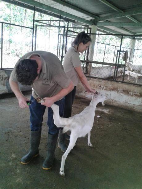 Wir verpassen einer Ziege eine Pediküre bei unserer Erfahrung mit Workaway