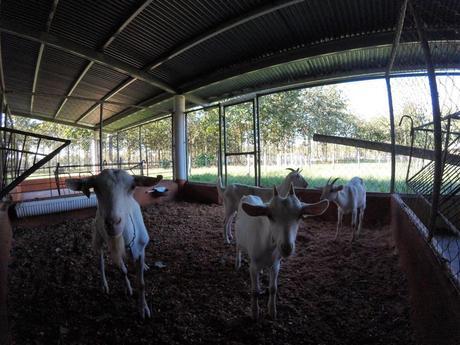 Einige der Ziegen mit denen wir bei unserer Erfahrung mit Workaway gearbeitet haben