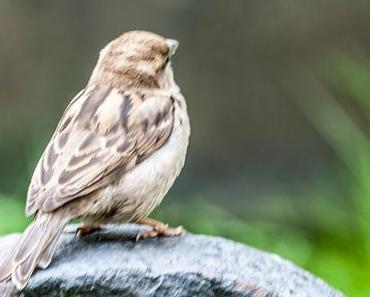 Welttag des Sperlings – der internationale World Sparrow Day