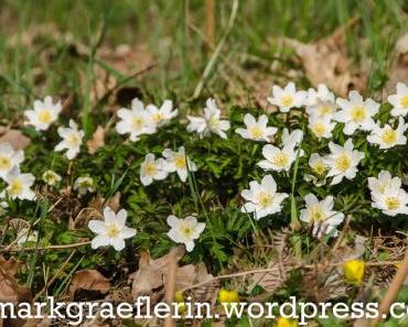 Frühlingsboten im Markgräflerland