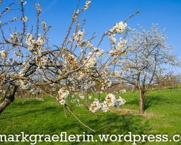 Kirschblüte im Markgräflerland 2017 – Jetzt geht's los!