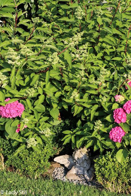 Bauernhortensien, Rispenhortensien, ein ideales Geschenk zum Muttertag, Gartengestaltung im Schattenbereich mit Hortensien,Hortensienliebe forever & ever, blühendes Schattenbeet,