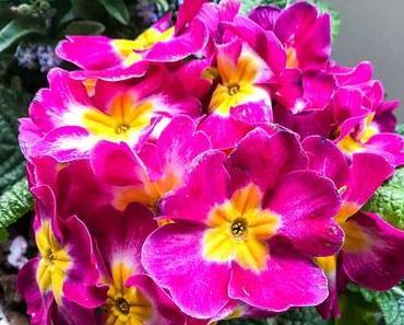 Primel-Tag in Großbritannien – der britische Primrose Day