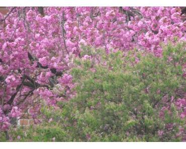 Foto: Zierkirsche in voller Blüte