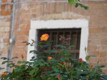 Venedig Rose