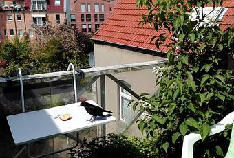 foto amsel schlaumi auf dem balkon. Black Bedroom Furniture Sets. Home Design Ideas