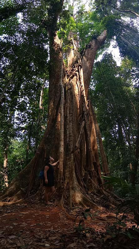 Mammutbäume-koh-kood-baum-dschungel-insel-thailand