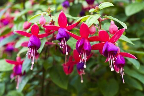 Die Pflanze Fuchsia